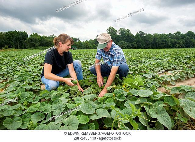 farmers checking cucumbers at a cucumber farm near Federalsburg, Maryland, USA