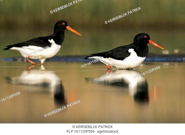 Two Eurasian oystercatchers / common pied oystercatcher (Haematopus ostralegus) foraging in shallow water of pond in wetland