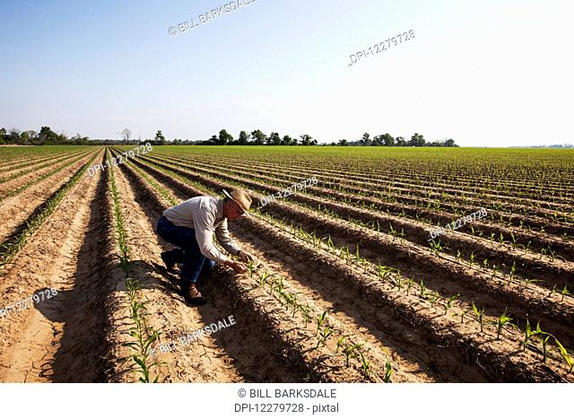 Crop consultant inspecting conventional till corn seedling at four to five leaf stage, soil is bedded to furrow irrigation; England, Arkansas