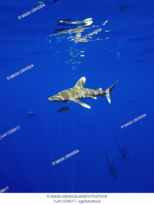 oceanic whitetip sharks, Carcharhinus longimanus, and short-finned pilot whales, Globicephala macrorhynchus, sharks often follow whales to scavenge on free...