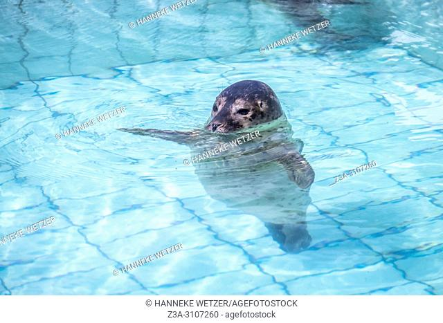 Seal in the Seal Rehabilitation and Research Centre (Dutch: Zeehondencentrum Pieterburen), located in Pieterburen, Netherlands