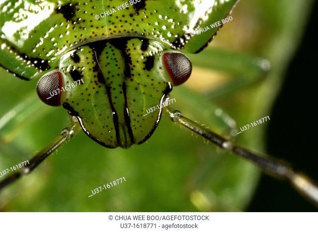 Beetle found at Kampung Skudup, Sarawak, Borneo