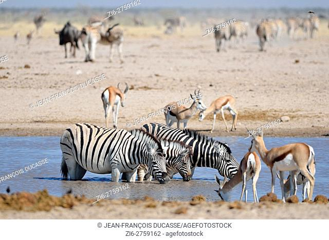 Three Burchell's zebras (Equus quagga burchellii), two adults and one foal, drinking in a waterhole, springboks (Antidorcas marsupialis) in the foreground