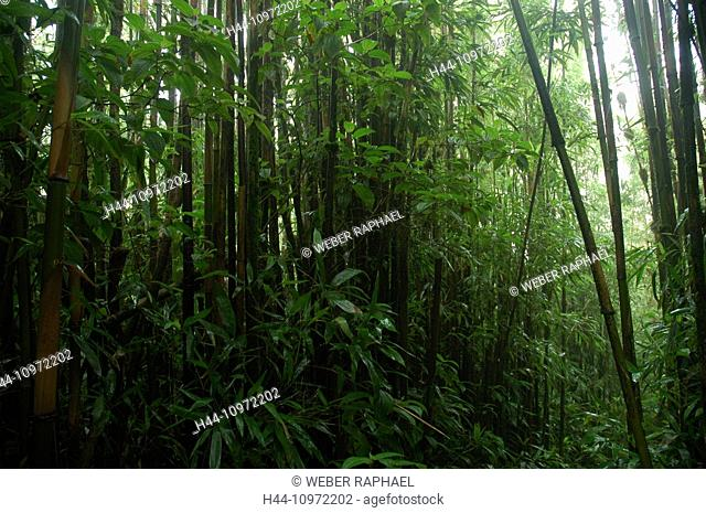 Ascension, Ascension Island, rain forest, green mountains, summit, peak, bamboo