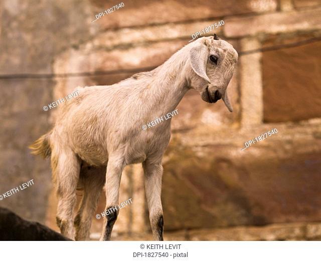 Young goat, Varanasi, India