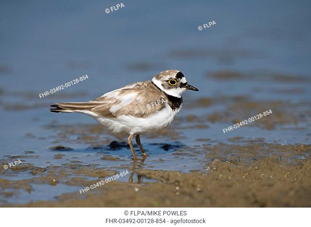 Little Ringed Plover (Charadrius dubius) adult, breeding plumage, foraging in shallow water at edge of marshland, Norfolk, England, June