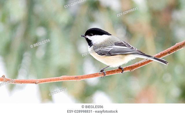 Black Capped Chickadee perched on Branch