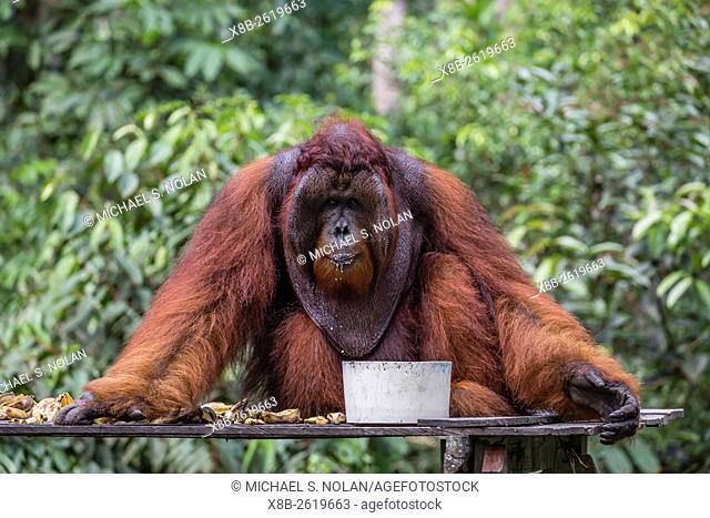 Reintroduced flanged male orangutan, Pongo pygmaeus, Camp Leakey, Tanjung Puting National Park, Borneo, Indonesia