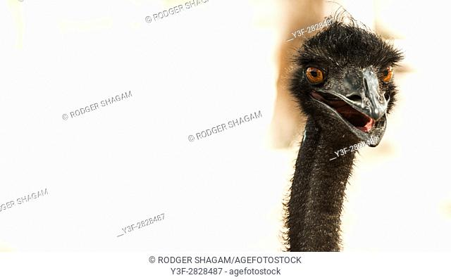 The emu is the second-largest living bird by height, after the ostrich. It is endemic to Australia where it is the largest native bird