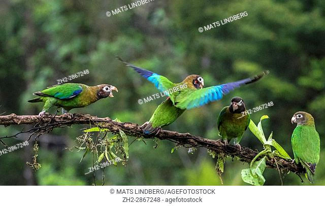 Four Brown-hooded parrot, Pyrilia haematotis, sitting in a tree, one is flying and another is chasing one away, at Laguna del Lagarto, Boca Tapada, San Carlos