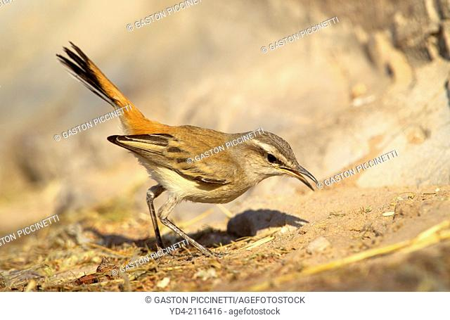 Kalahari Scrub-robin (Cercotrichas paena), Mabuasehube, Kgakagadi Transfrontier Park, Kalahari desert, Botswana