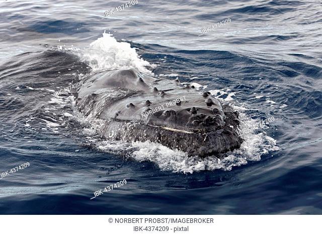 Humpback whale (Megaptera novaeangliae), at sea surface, Queensland, Pacific, Australia