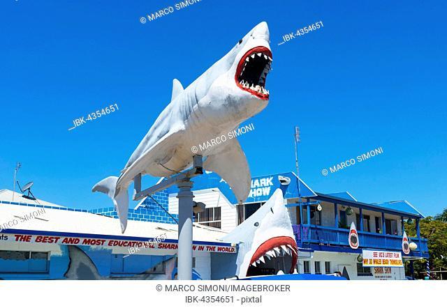Great White Shark Exhibition shark show, Hervey Bay, Queensland, Australia