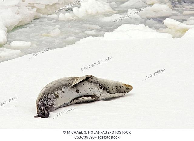 An adult leopard seal Hydrurga leptonyx hauled out and resting among the ice floes at Port Arthur in the caldera of Deception Island in the South Shetland...