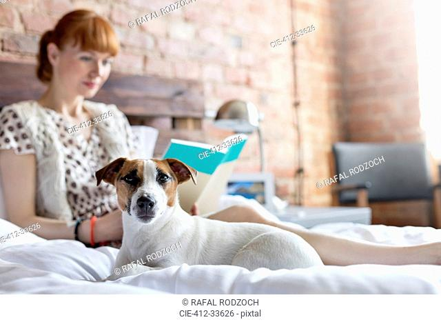 Woman reading book next to Jack Russell Terrier dog on bed