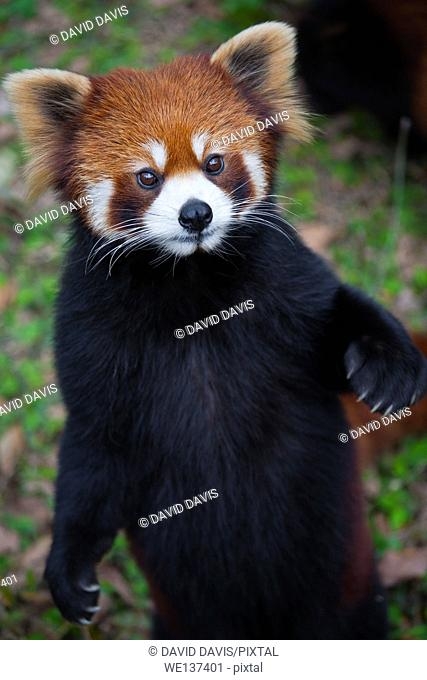 The red panda Ailurus fulgens, also known as Lesser Panda and Red Cat-Bear, is a small arboreal mammal native to the eastern Himalayas and south-western China