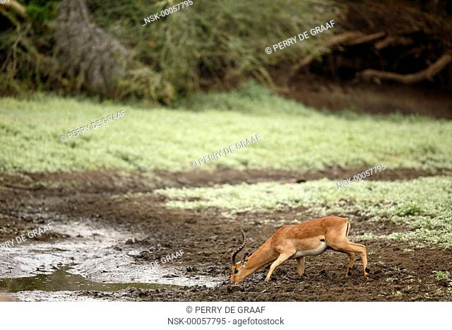 Impala (Aepyceros melampus), male drinking water from a muddy pool, South Africa, Mpumalanga, Kruger National Park