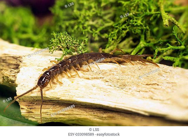 arthropods belonging to the class of the Chilopoda subtype Myriapoda