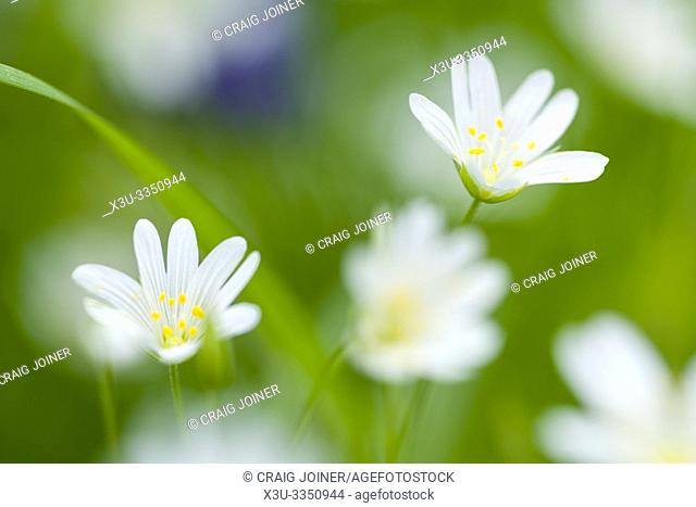 Greater Stitchwort, or Addersmeat (Stellaria holostea) flowers in a woodland in the southwest of England