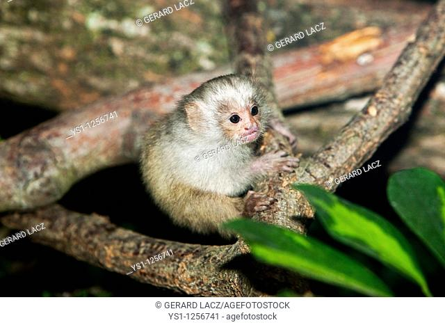 BABY SILVERY MARMOSET mico argentatus ON A BRANCH