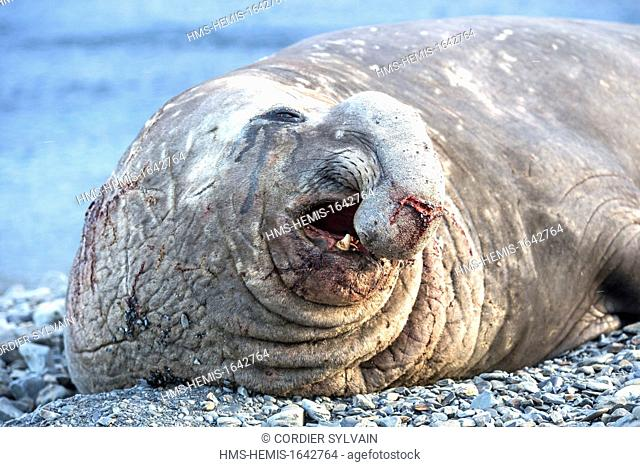 Antarctic, South Georgia Island, Stromness, Southern Elephant Seal (Mirounga leonina), male