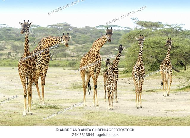 Masai Giraffe (Giraffe camelopardalis) herd with young standing on savanna, all looking at camera, Ngorongoro conservation area, Tanzania