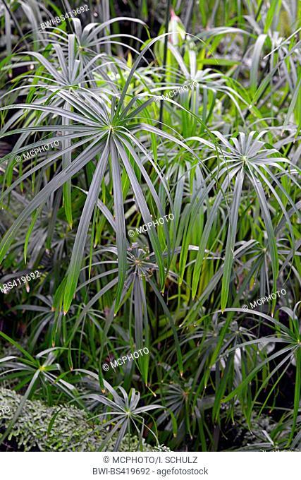 umbrella plant (Cyperus alternifolius), Bundesrepublik Deutschland
