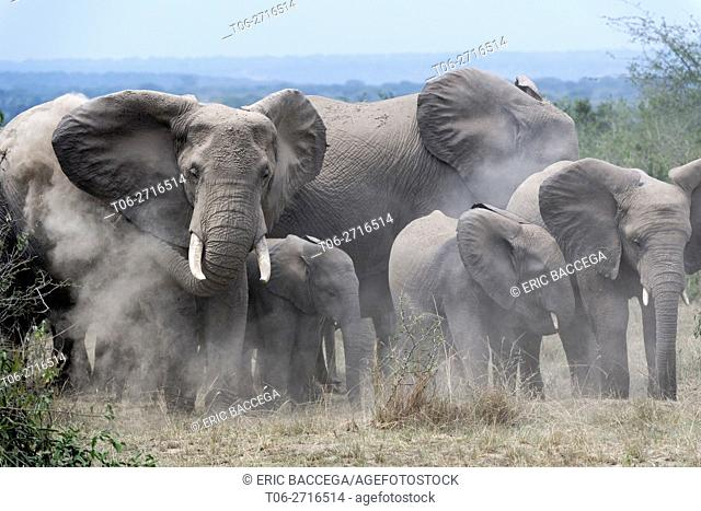 African elephant herd with calves taking a dust bath (Loxodonta africana) Queen Elizabeth National Park, Uganda, Africa