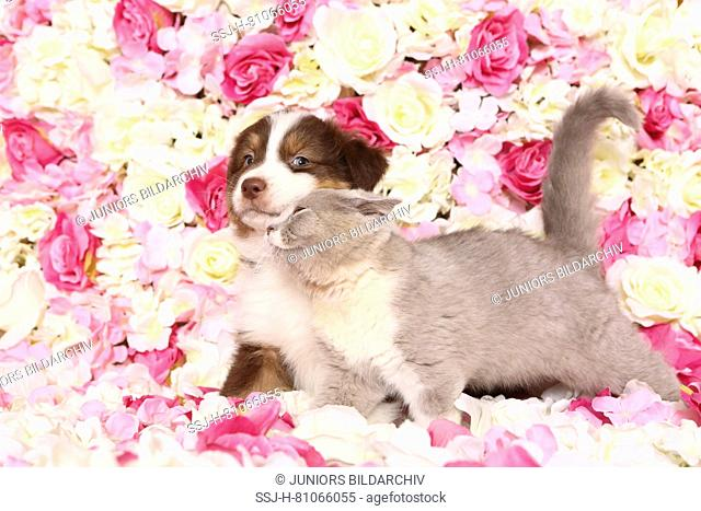 Australian Shepherd and British Shorthair Cat. Puppy (6 weeks old) and kitten smoothing among rose flowers. Studio picture. Germany