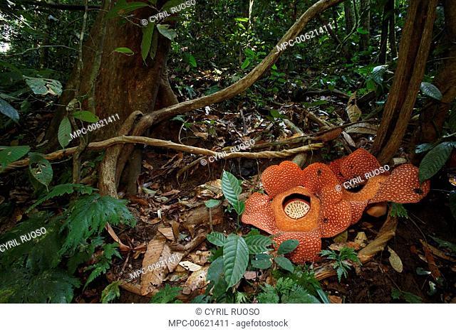 Rafflesia (Rafflesia arnoldii) flowers, Bukit Barisan Selatan National Park, Sumatra, Indonesia