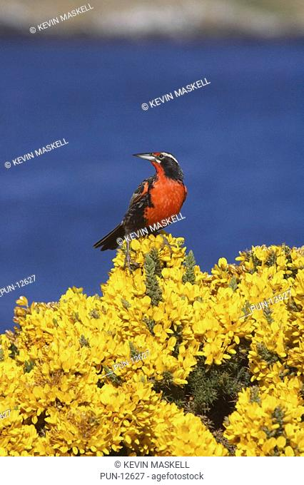 Long-tailed meadowlark Sturnella loyca falklandica on gorse bush on Carcass Island, Falkland Islands