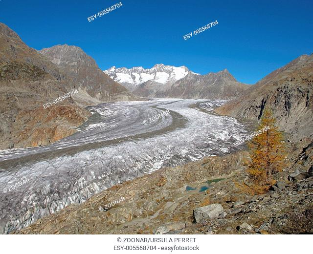 Aletsch Glacier And Yellow Larch
