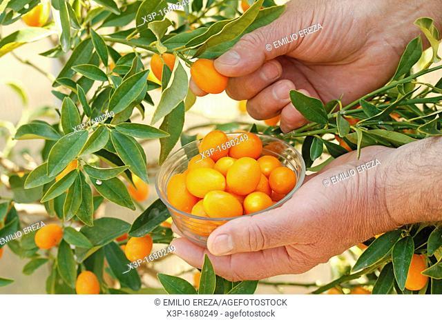 Picking kumquats