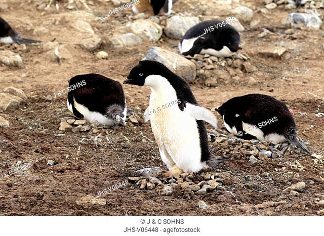 Adelie Penguin, (Pygoscelis adeliae), Antarctica, Devil Island, adult at nest with egg