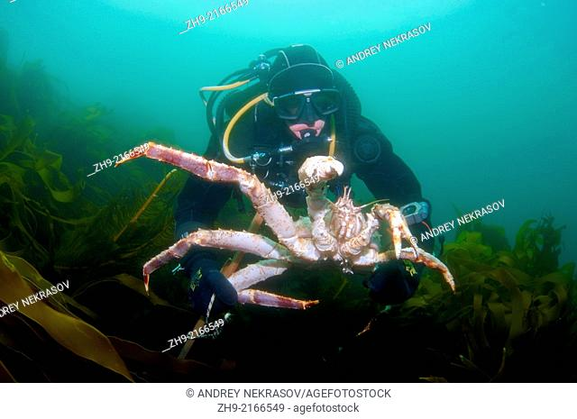 Red King Crab (Paralithodes camtschaticus), Arctic, Russia, Barents sea