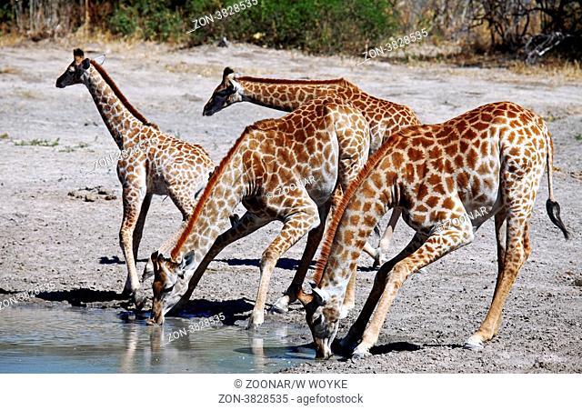 Giraffen im Chobe Nationalpark, Savuti, Botswana, Giraffes at Chobe National Park, Botsuana, Giraffa camelopardalis