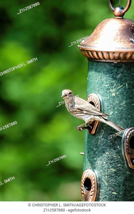 Sparrow perched and feeding at a garden bird seed feeder