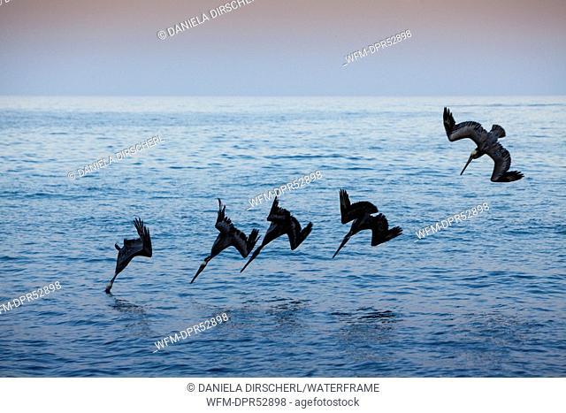 Pelicano hunting at Sunset, Pelicanus occidentalis, Cabo Pulmo National Park, Baja California Sur, Mexico