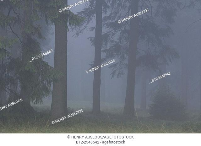 Fog in the wood, Belgium