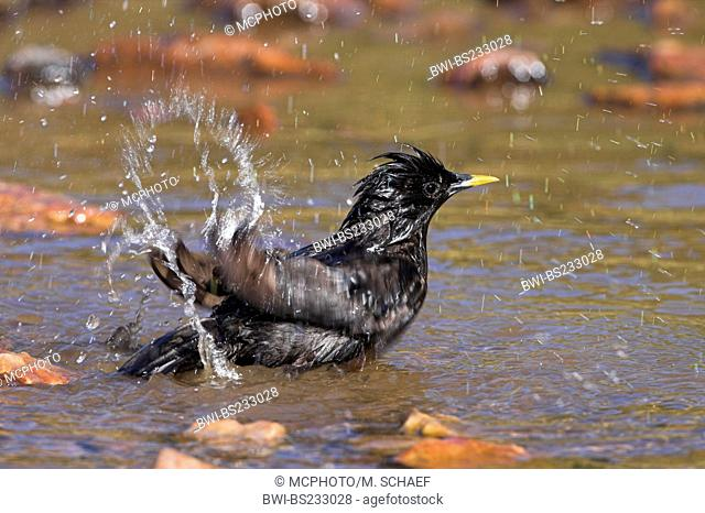 spotless starling (Sturnus unicolor), taking a bath in a brook, Spain, Extremadura