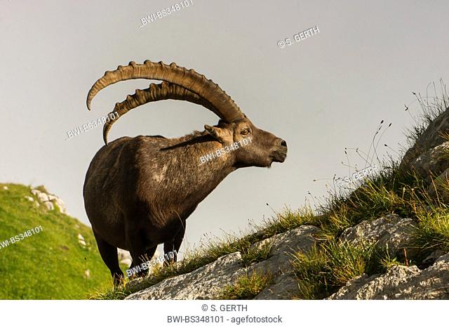 Alpine ibex (Capra ibex, Capra ibex ibex), male standing in an alpine meadow and feeding, Switzerland, Alpstein, Saentis