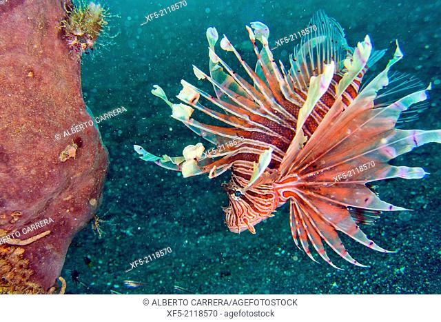 Tall-spine Lionfish, Pterois sp, Lembeh, North Sulawesi, Indonesia, Asia