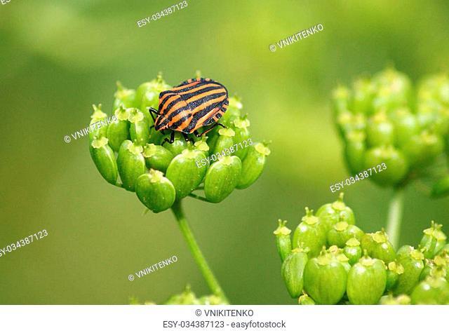 Black orange striped bug, graphosoma lineatum, on the plant