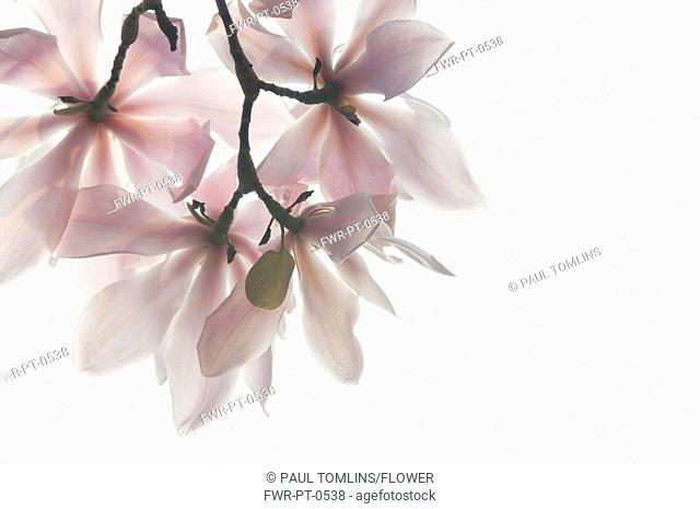 Magnolia sprengeri 'Diva', Magnolia, Pink subject, White background