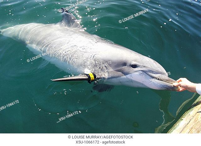 SPAWAR Navy Marine Mammal Programme, San Diego November 2006 40 year old dolphin Blue seen here wearing a transponder which allow her position to be tracked...