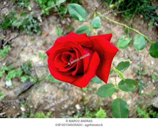 a red rose flower at house garden