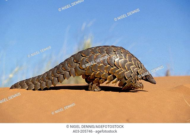 Pangolin (Manis temminckii), curls into a ball when disturbed. Kgalagadi Transfrontier Park, Kalahari. South Africa