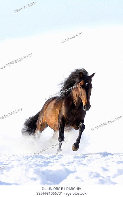 Pure Spanish Horse, Andalusian. Bay stallion galloping in snow. Germany