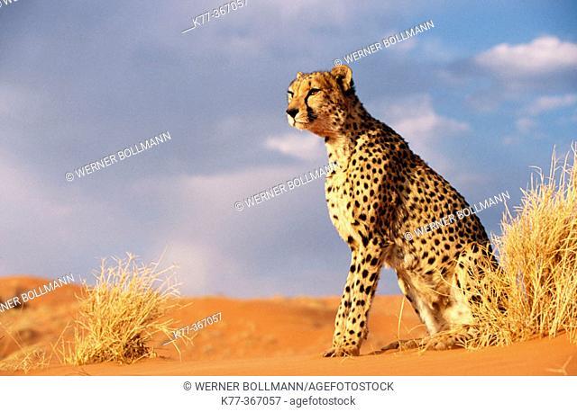 Cheetah in the Namib desert (Acinonyx jubatus) in captivity. Game Farm. Namibia