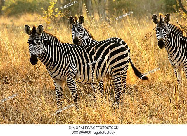 Crawshay's Zebra (Equus burchellii crawshayi). South Luangwa National Park, Zambia